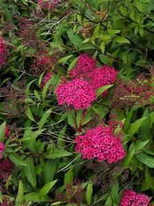 Rote Johannisbeeren Hochstamm Schneiden : spiraea japonica 39 dart 39 s red 39 roter spierstrauch 39 dart 39 s ~ Lizthompson.info Haus und Dekorationen