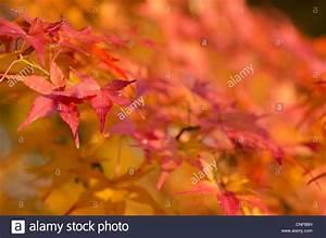 Ahorn Rote Blätter : maple stockfotos maple bilder alamy ~ Eleganceandgraceweddings.com Haus und Dekorationen