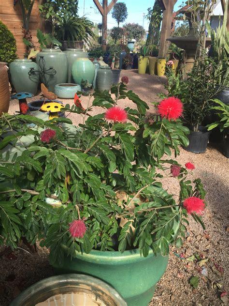 Pink Powder Puff Shades Texas Nursery Landscaping