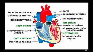 The Circulatory System Part 1  The Heart