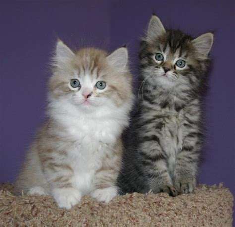 ragamuffin cat ragamuffin kittens photo and wallpaper beautiful