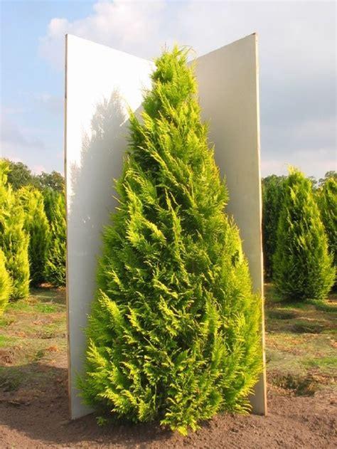 Chamaecyparis Lawsoniana Ivonne by Z 225 Hradn 237 Ctvo Green