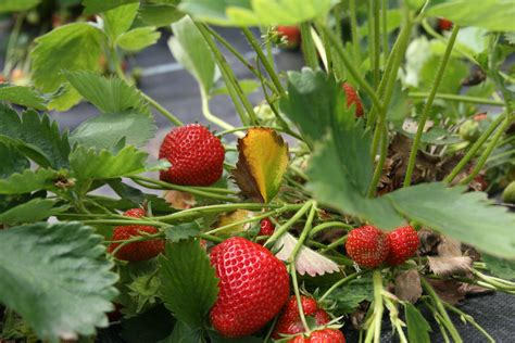 planting strawberries growing strawberries on our farm in devon the riverford blog