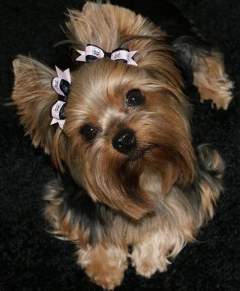penteados  yorkshire terrier