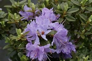 Rhododendron Blaue Mauritius : rhododendron blaue mauritius zwergrhododendren ~ Lizthompson.info Haus und Dekorationen