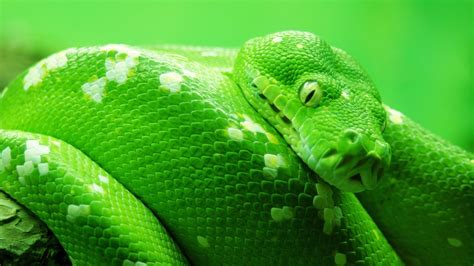Green Animal Wallpaper - wallpaper snake green 4k animals 14978