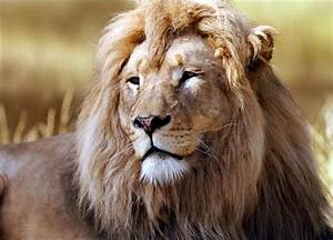 Some Facts that you might not know about Lions!!!
