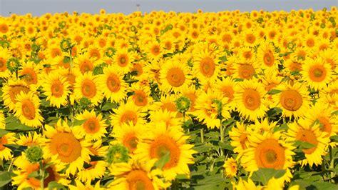 fotobanka slunecnice zluty kvet slunecnicove pole