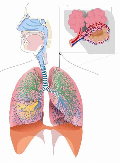Respiratory System Clipart Nose Transparent Webstockreview Thinglink