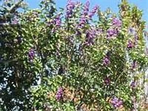 Flieder Schneiden Video : r ckschnitt flieder baumschnitt zur ckschneiden flieder pflanze ~ Orissabook.com Haus und Dekorationen
