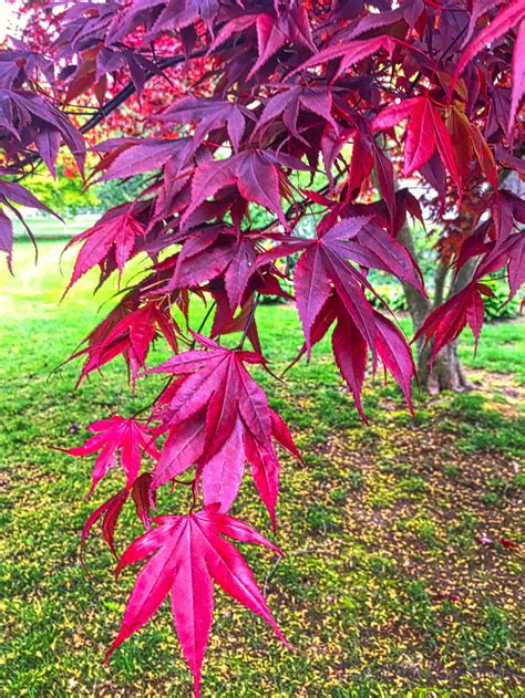 Red Japanese Maple Leaves - Plant & Nature Photos ...