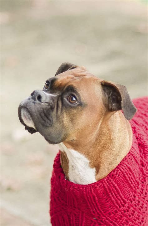 sweaters for boxer dogs tails walter daily tagdaily tag