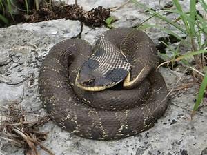 Eastern Hognose Snake (Heterodon platirhinos) - Reptiles ...