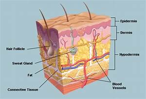 The Skin  Human Anatomy   Picture  Definition  Function