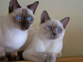 Siamese Cat Breed