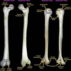 Image Result For Humorous The Bone Labeled