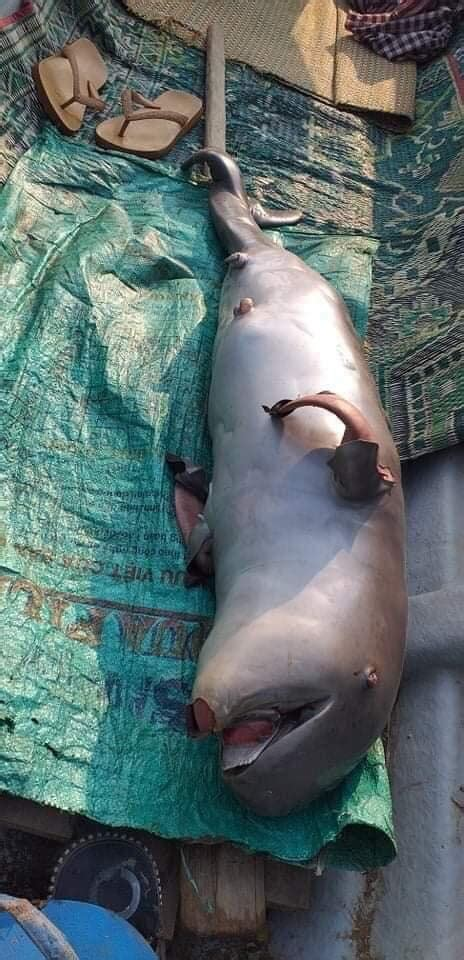 baby river dolphin  dead  stung treng cambodia