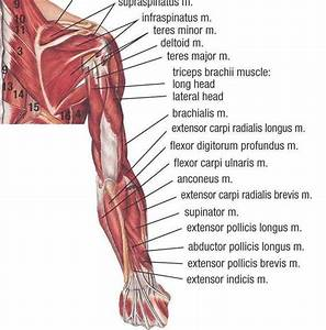 Muscles Of Upper Extremity  Posterior Deep View