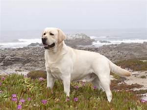Labrador Retriever Wallpapers High Resolution and Quality ...
