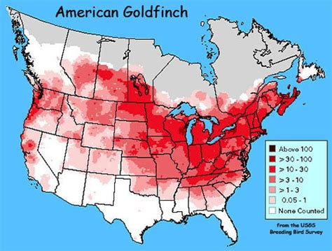 american goldfinches revisited and revisiting carduelis