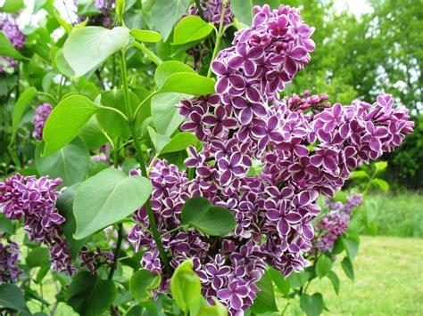 wann wird lavendel geschnitten flieder schneiden wann und wie zur 252 ckschneiden garten flieder schneiden lila garten flieder