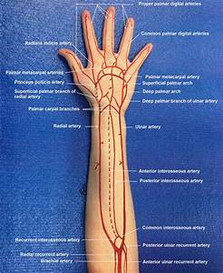 Arterial Circulation In The Forearm And Hand