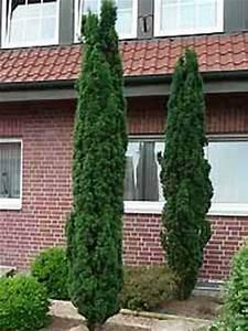 Bäume Für Kübel : taxus baccata 39 fastigiata robusta 39 schmale s ulen eibe ~ Michelbontemps.com Haus und Dekorationen