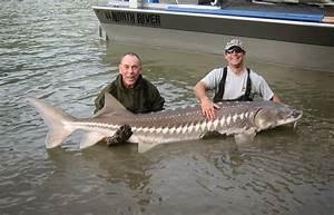 Columbia River Sturgeon Record - Bing images