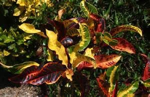 Tropical Plant with Multi Colored Leaves