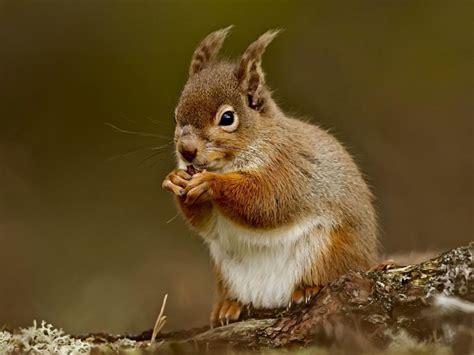 squirrel eating nut wallpaper wallpapergeeks com