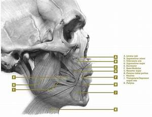 140 Best Facial Anatomy Images On Pinterest