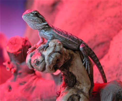 bearded dragon basking light how to correctly care for your bearded dragon