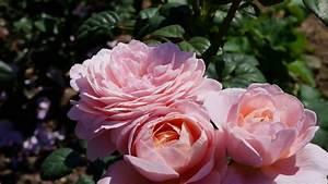 Queen Of Sweden Rose David Austin
