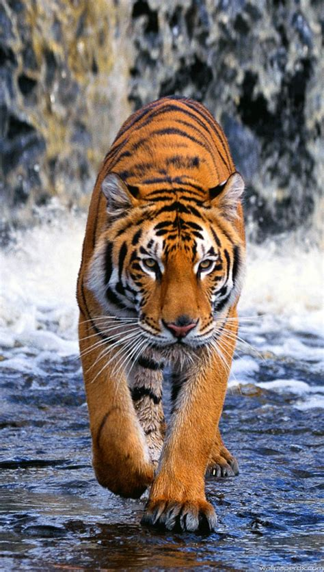 3d Animated Tiger Wallpapers - animated tiger mobile wallpaper driverlayer search engine