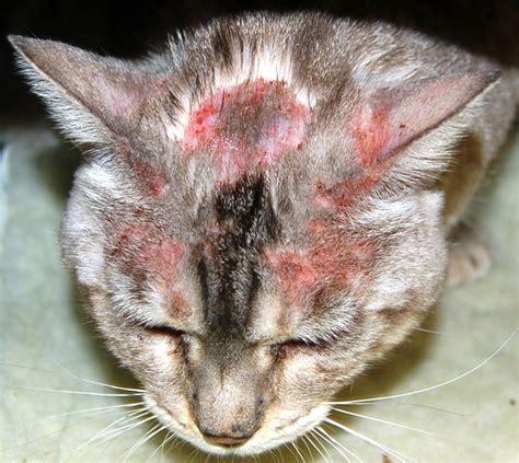 dermatite chez le chat symptomes traitement holidogtimes