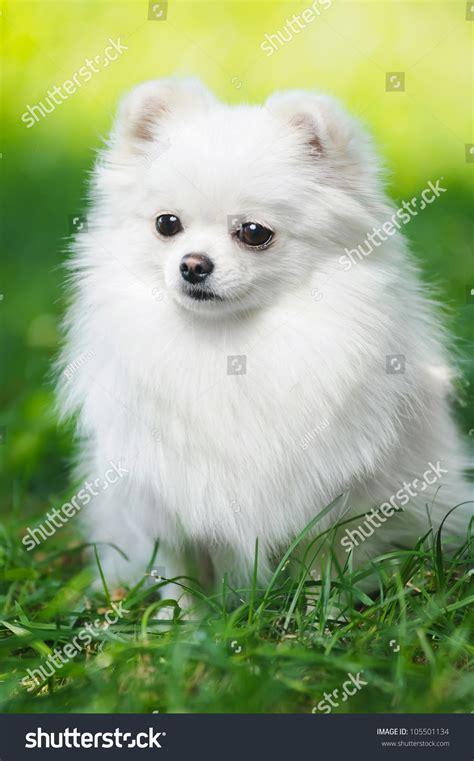 white fluffy puppy pomeranian spitz dog stock photo