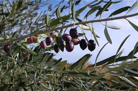 la cuisine d olivier les nombreux bienfaits de la feuille d 39 olivier sur la santé