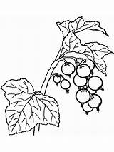 Coloring Pages Berries Currant Printable Template sketch template