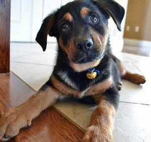 17 Best ideas about Rottweiler Mix on Pinterest ...