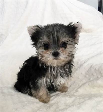 Morkie Teacup Puppy Puppies Micro Yorkie Iheartteacups