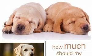 Labrador Feeding Tips And Advice