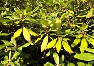Rhododendron Blüht Nicht : rhododendron krankheiten gelbe bl tter vertrocknete knospen ursachen ~ Frokenaadalensverden.com Haus und Dekorationen