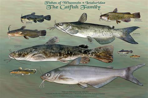 ban  guyanas catfish species  protectionist