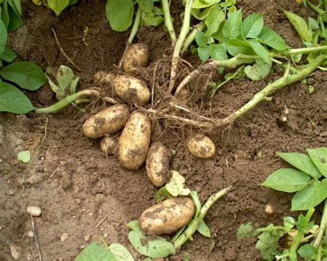 pommes de terre archives jacky la main verte
