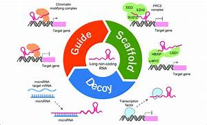 Functions And Mechanisms Of Lncrna  Lncrna Can Guide