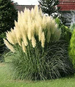 Ziergräser Im Garten Bilder : pampasgras 39 evita 39 3 liter containe ziergr ser bei baldur garten ~ Sanjose-hotels-ca.com Haus und Dekorationen