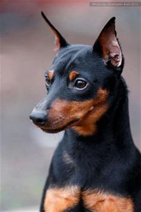 mini doberman pinscher shedding un manchester terrier mostrando sus orejas erectas tiene