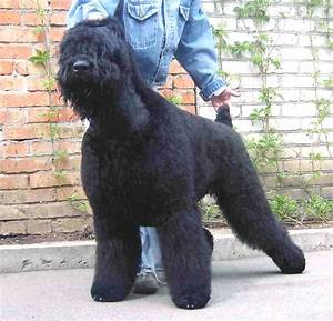 Dog Breed Directory: Black Russian Terrier Dog Breed