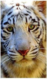 white bengal #tiger | Tiger images, Animals, Animal wallpaper