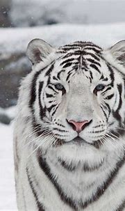 25 White Tiger Pictures - We Need Fun
